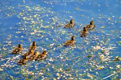 Ducklings. Ducklings  Ducks  Animals  water   childhood  утята  утки  пруд  животные  птицы  wild nature  life   birds Stock Photo
