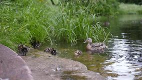 Ducklings and ducks swim in a clean pond near the shore. slow motion. 1920x1080. full hd stock footage