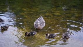 Ducklings and ducks swim in a clean pond. slow motion. 1920x1080. full hd stock footage