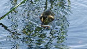 Ducklings eat. Bread in the lake, summer stock footage