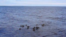 Ducklings eat stock video footage