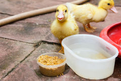 Ducklings eating food. Royalty Free Stock Photos