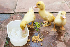Ducklings eating food on ground. Stock Photo