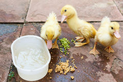 Ducklings eating food on ground. Royalty Free Stock Images