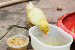 Ducklings eating food on ground. Royalty Free Stock Photography