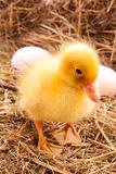 Ducklings and eggs in hay Stock Image