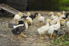 Ducklings on a farm for a walk Royalty Free Stock Photography