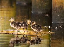 Ducklings floating no where fast stock photos