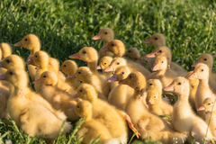 Ducklings flock. Grazing on the green grass Royalty Free Stock Image