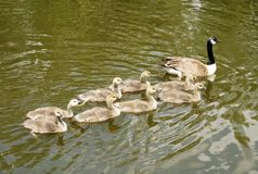 Ducklings follow their mom Royalty Free Stock Photo