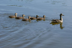 Ducklings following mom across the river Royalty Free Stock Photos