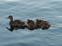 Ducklings following mother stock image