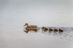 Ducklings following mother in water concept. Stock Images