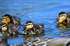 The ducklings are  following their mother duck around  all the time.  stock images