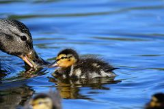 The ducklings are  following their mother duck around  all the time. royalty free stock images