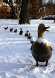 ducklings gör långt Arkivfoton