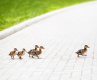Ducklings. Go across the road Royalty Free Stock Photos