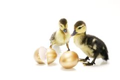 Ducklings With Golden Eggs stock image