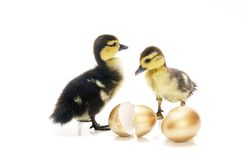 Ducklings With Golden Eggs Royalty Free Stock Images