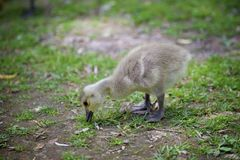 Ducklings gracing on the green grass royalty free stock image