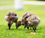 Ducklings on grass Royalty Free Stock Photography
