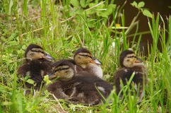 Ducklings in the grass Royalty Free Stock Images