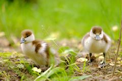 Ducklings on the grass Royalty Free Stock Image