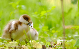 Ducklings on the grass Stock Photo