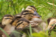 Ducklings in the grass Stock Photo