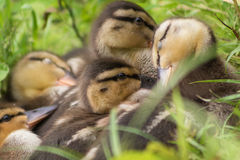 Ducklings in the grass Stock Photography