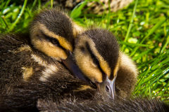 Ducklings at the grass Stock Photos