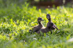 Ducklings in a grass Royalty Free Stock Photography