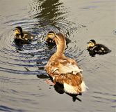 Ducklings on the Great Bay stock photography