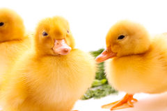 Ducklings on green grass Royalty Free Stock Image