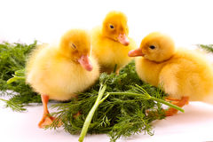 Ducklings on green grass Stock Images