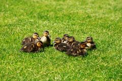 Ducklings on green grass stock photos