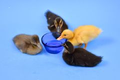 Ducklings. Group of 4 cute little multi colored baby ducklings drinking water Royalty Free Stock Photos