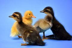 Ducklings. Group of four cute little multi colored baby ducklings Royalty Free Stock Photography