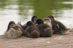 Ducklings group Stock Photo