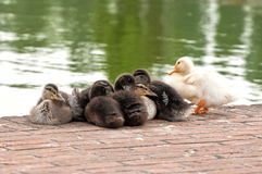 Ducklings group. A group of little ducks Royalty Free Stock Images