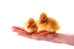 ducklings on the hand stock image