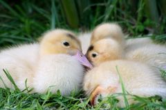 Ducklings in a huddle Stock Photo