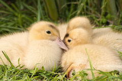 Ducklings huddled group Royalty Free Stock Images