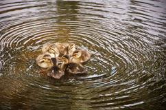 Six duckling, in a circle Stock Image