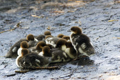 Ducklings huddling together Royalty Free Stock Image