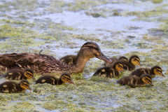 Ducklings in a Hurry. A mother mallard swimming on a pond with her ducklings Royalty Free Stock Images