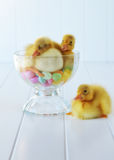 Ducklings and Jelly Beans Stock Photography