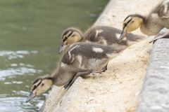 Ducklings jumping into the boating lake on Southampton Common Stock Image