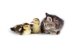 Ducklings and kitten. Stock Photos