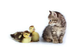Ducklings and kitten. Royalty Free Stock Photo